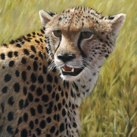 Cheetah Portrait  9x9 oil -