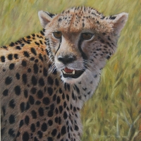 Cheetah-Study-9-x-9-inch-oil