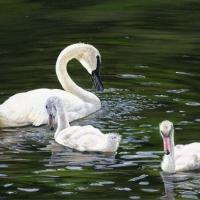 ugly-ducklings-17x24-acrylic